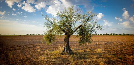 Ritornare all'olivo. Per una teologia mediterranea